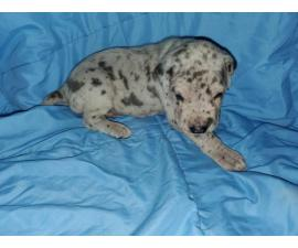 Great Dane pet puppies available
