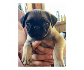 2 pugs puppies for sale