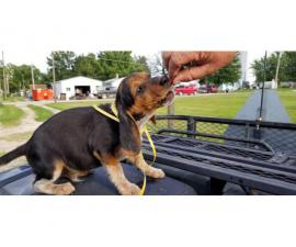 3 purebred boy beagle puppies to be rehomed