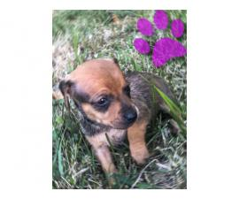 5 beautiful Chiweenies for sale