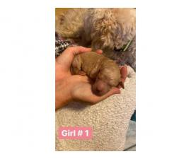 6 girls and 5 boys Goldendoodle puppies available