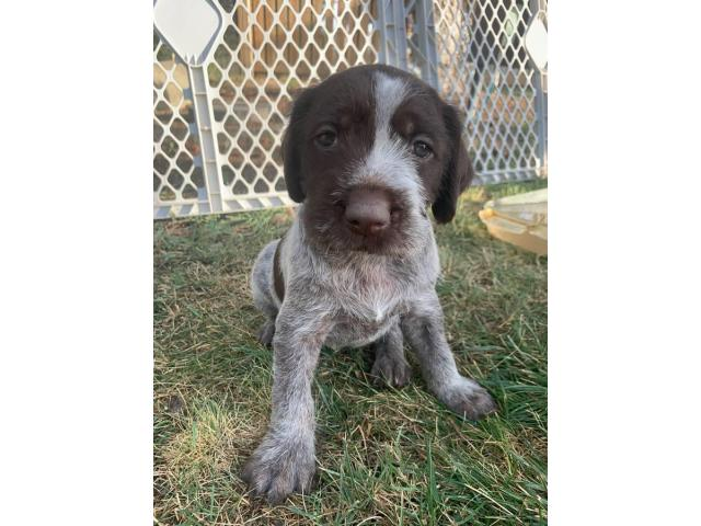 4 females, 2 males Wirehaired Pointing Griffon Puppies in ...