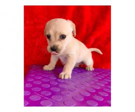 1 boy and 1 girl Maltese Chihuahua puppies