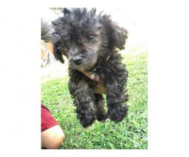 4 poodle puppies are ready for a their new home