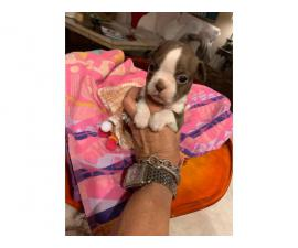 Male and female Red Boston Terrier puppies