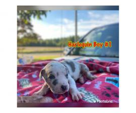 4 girls and 4 boys AKC Great Dane puppies for sale