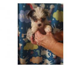 Two males Shorkie puppies for sale
