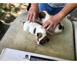 Brown and whiteJack Russell Terrierpuppies up for re-homing
