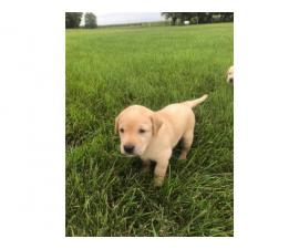 1 male and 3 females AKC Lab Puppies