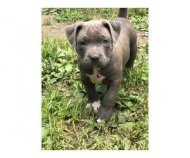 Two boys and four girls bully-pit puppies for sale