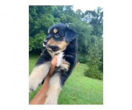 Two purebred lovely Aussie puppies for sale