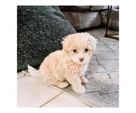 Adorable golden Maltipoo puppy for sale