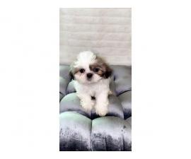 9 weeks old Shihtzu puppies for pick up only