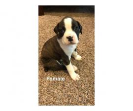 5 (five) boxer puppies looking for new homes