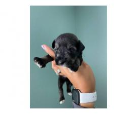 8 Miniature schnauzer puppies available