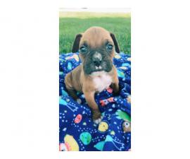 5 AKC Boxer puppies up for sale