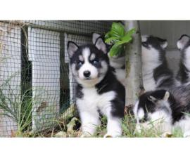 Siberian husky and Pomsky Puppies