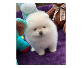 cuddle Pomeranian puppy for sale