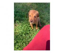 2 fox red Labrador retriever puppies