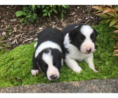 Five Cute Border Collie