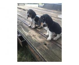 8 weeks old very healthy and gorgeous beagle puppies
