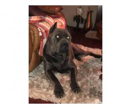 8 beautiful Cane Corso puppies available