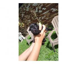 Litter of black Labrador puppies available for rehoming