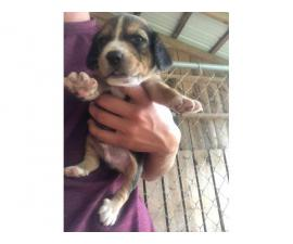 4 (four) Beagle puppies for sale