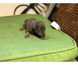 5 Purebred Doberman puppies available for rehoming