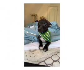 2 Chiweenie puppies to be rehomed