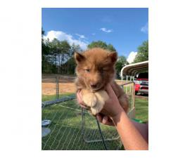 Copper and  black Husky puppies looking for sale