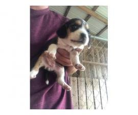 Lovely Beagle Puppies Available Now