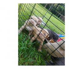 Boys and girls Bullypit puppies to be rehomed