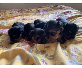 Biewer X Yorkshire Terrier Puppies