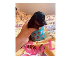 Biewer X Yorkshire Terrier Puppies