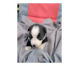 2 cute males Livestock Border Collie Puppies