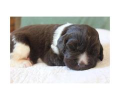 AKC puppies