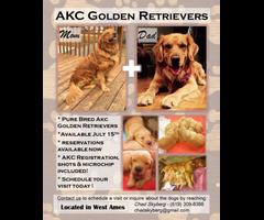 AKC Golden Retrievers