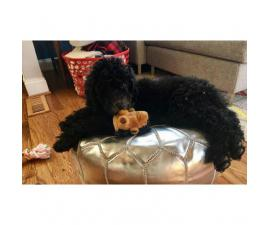 Goldendoodle Puppies for Sale Last Female Left