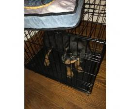 2 month old Male Pure Breed Rottweiler for sale