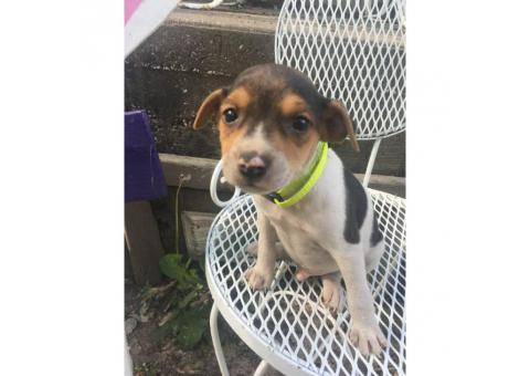 2 male rat terrier puppies left available for sale