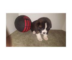 Purebred Akita puppies for sale
