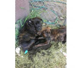 3 absolutely adorable female Cane Corso puppies