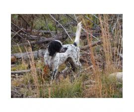 Registered English Setter pups from hunting stock