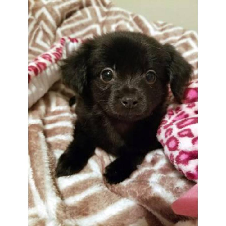 Kelly Services Near Me >> Pomchi puppies available for rehome in Orlando, Florida - Puppies for Sale Near Me