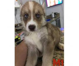 3 Males and 6 Females  Pure Breed Siberian Husky Puppies