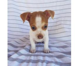 2 adorable and sweet Jack russell and Chihuahua puppies