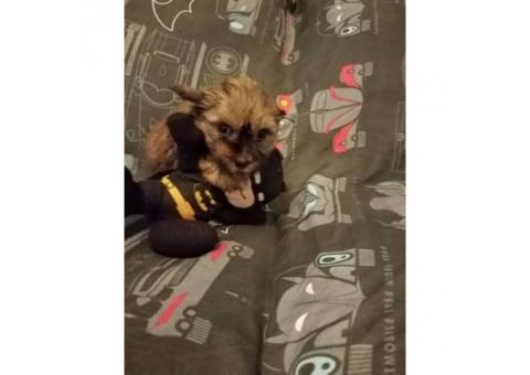 One male sable yorkie puppy for sale