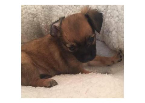 2 adorable little Long Coat Chihuahua Puppies for Sale