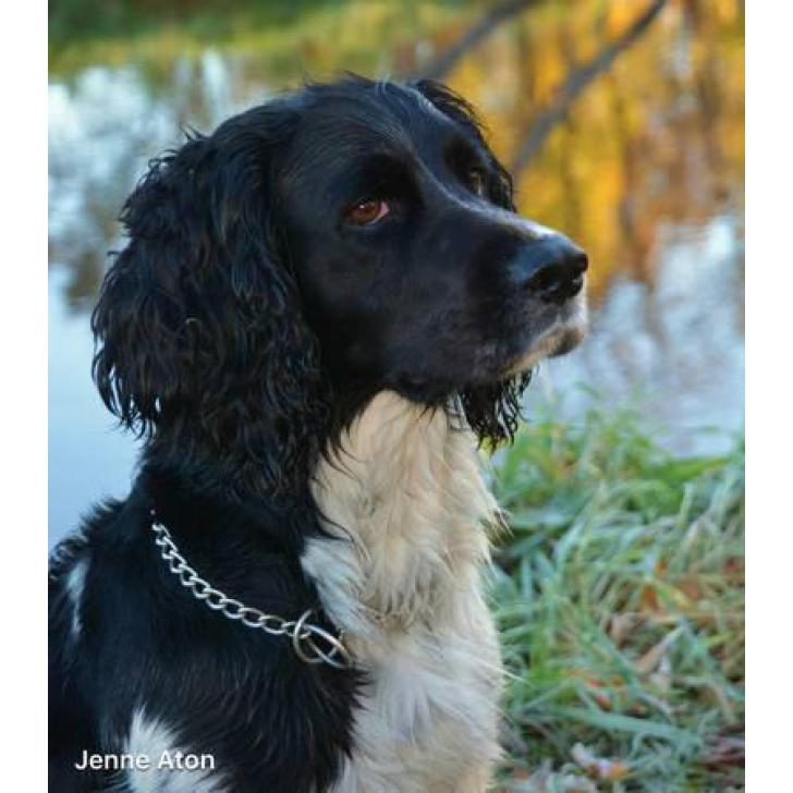 Black And White Springer Spaniels For Sale In Appleton Wisconsin Puppies For Sale Near Me